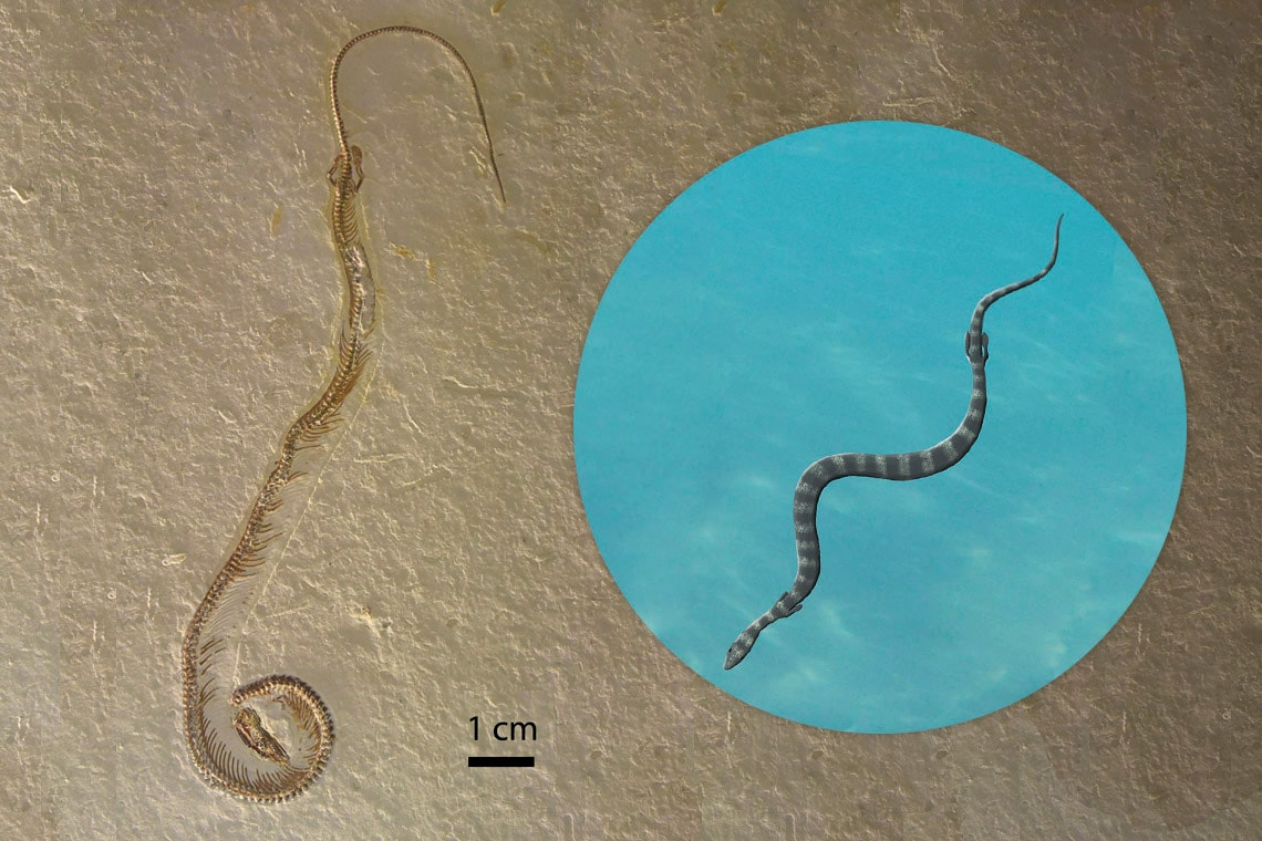 composite photo of fossil and artist's rendering of snake