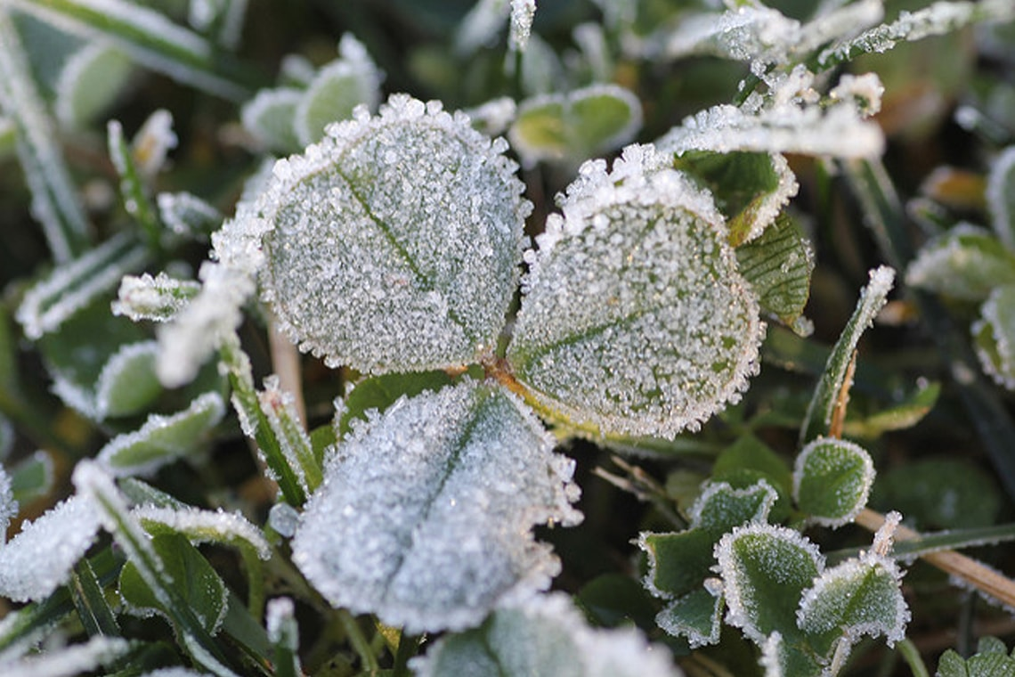 Photo of frost-covered clover