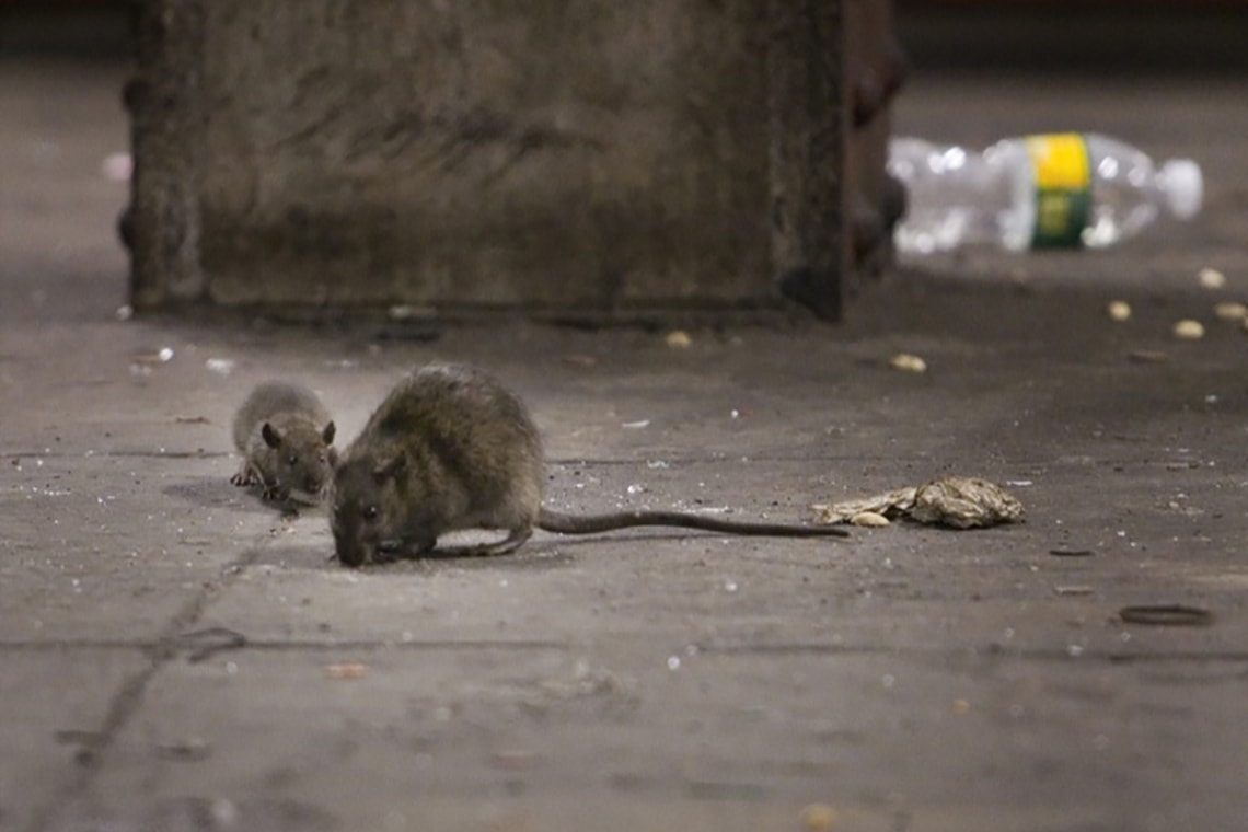 Picture of rats in New York subway