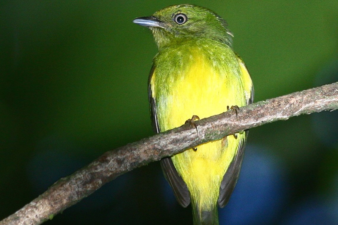 Photo of gold-crowned manakin