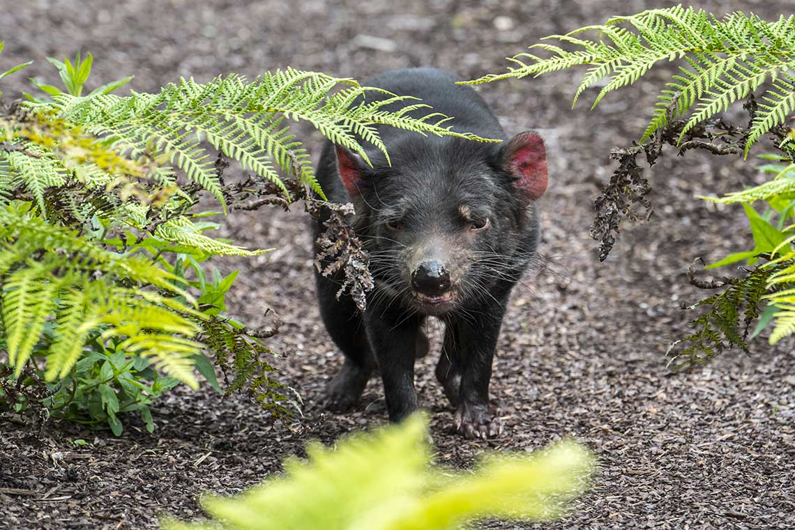 Photo of Tasmanian devil
