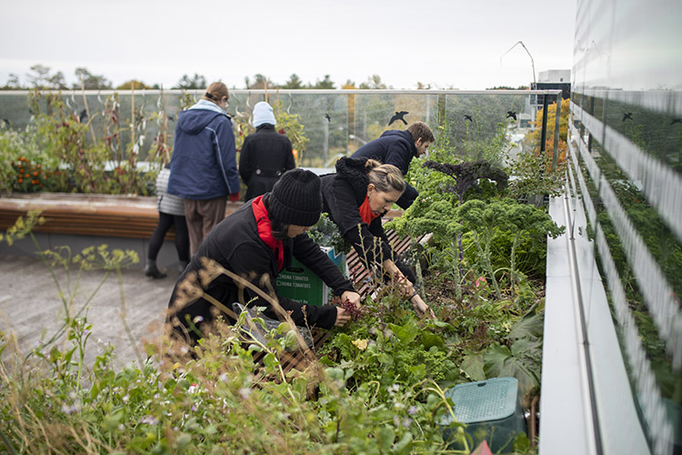 students working on the rooftop garden at UTSC
